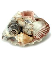 Sea Shells W/ Lion's Paw Shell Assortment-6/Pkg