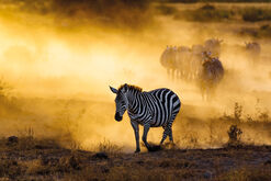 "Bild ""Zebras and the golden light"""