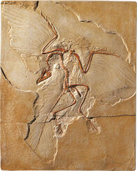 Archaeopteryx fossil