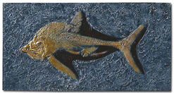 Predator fish from Holzmaden (Pachycormus bollensis) fossil