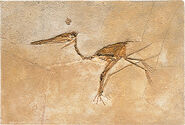 Pterosaurs fossil