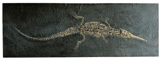 Spoon snout crocodile (Stenosaurus) fossil