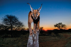 "Bild ""Caracal in twilight"""