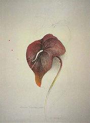 "Bild ""Anturium Scherzonicum"" (1981), ungerahmt"