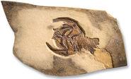 Decapode Eryon propinguus fossil