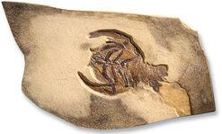 Fossiler Zehnfußkrebs Eryon propinguus