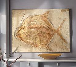 Kugelzahnfisch (Gyrodus macrophthalmus hexagonus)