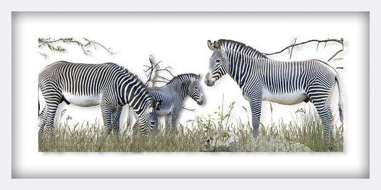 "Andreas Lutherer: Bild ""Grévy - Zebra"" (2016)"