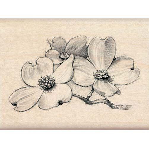 White Dogwood Flowers_97829