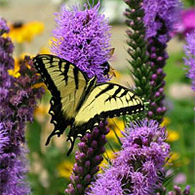 Attracting Butterflies Hummingbirds and Other Pollinators – Plants for Butterfly Garden