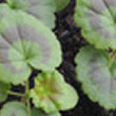 Grow Geraniums From Seed Gardener S Supply
