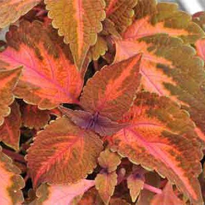 How To Grow Coleus Growing Coleus Gardener S Supply