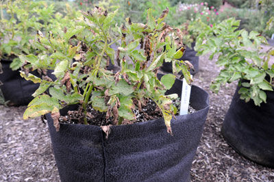 how to grow potatoes in plastic bags