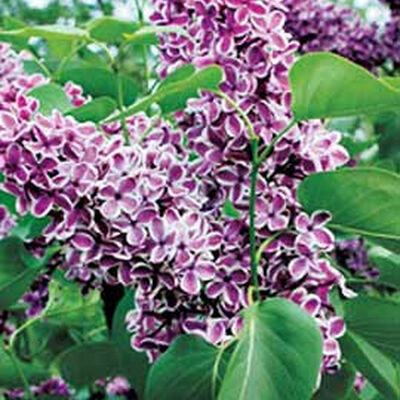Planting Lilacs How To Grow And Plant Lilac Bush