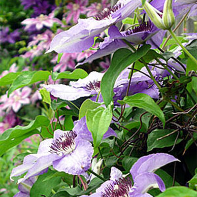 How to Grow Clematis - Gardener's Supply