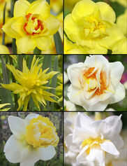 Double Daffodil Bulb Collection, Set of 30