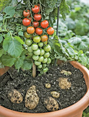 Ketchup 'N' Fries™ Tomato Plant