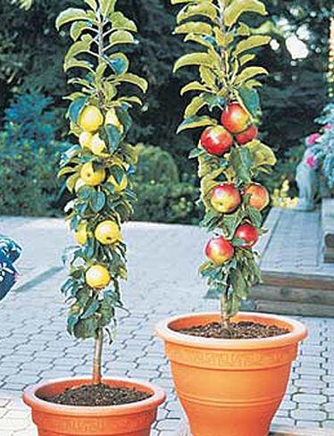 Columnar Apples, 2 Trees
