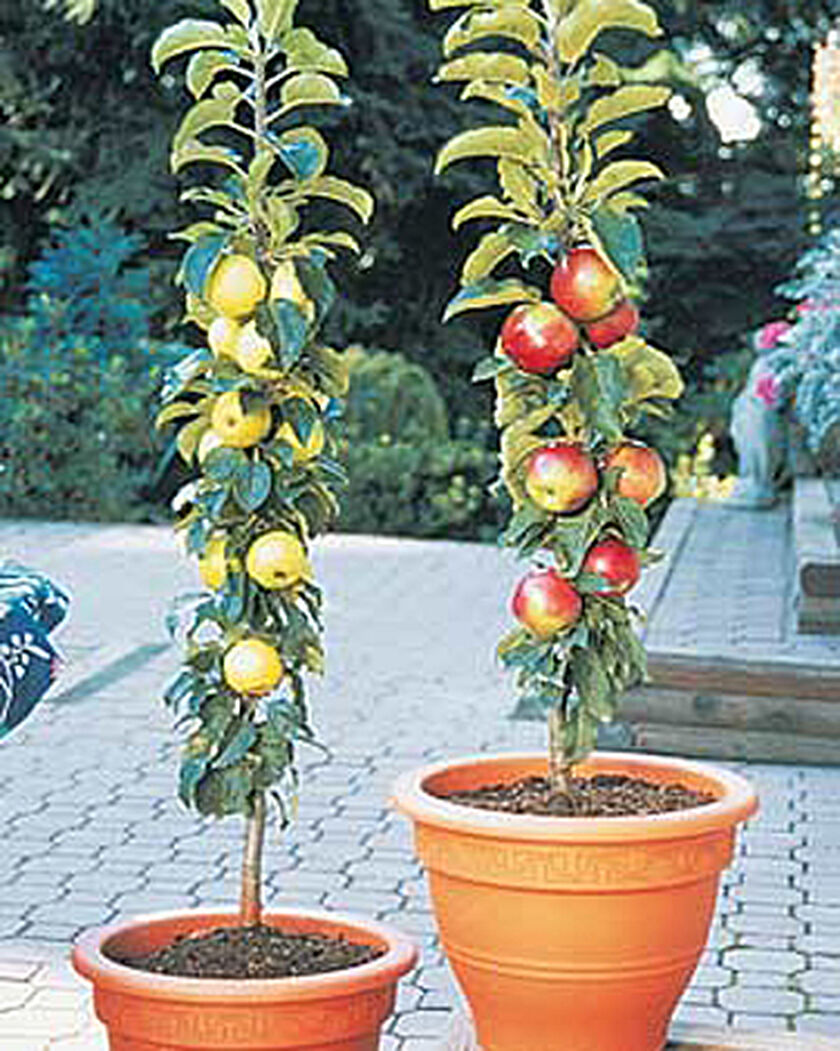 Columnar apple trees buy from gardener 39 s supply for Gardeners supply company catalog