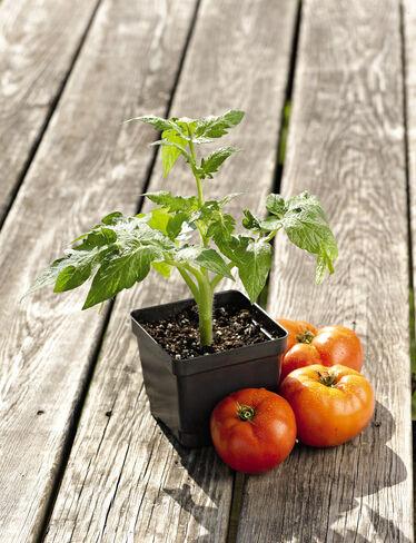 Bush 506 Tomato Plant