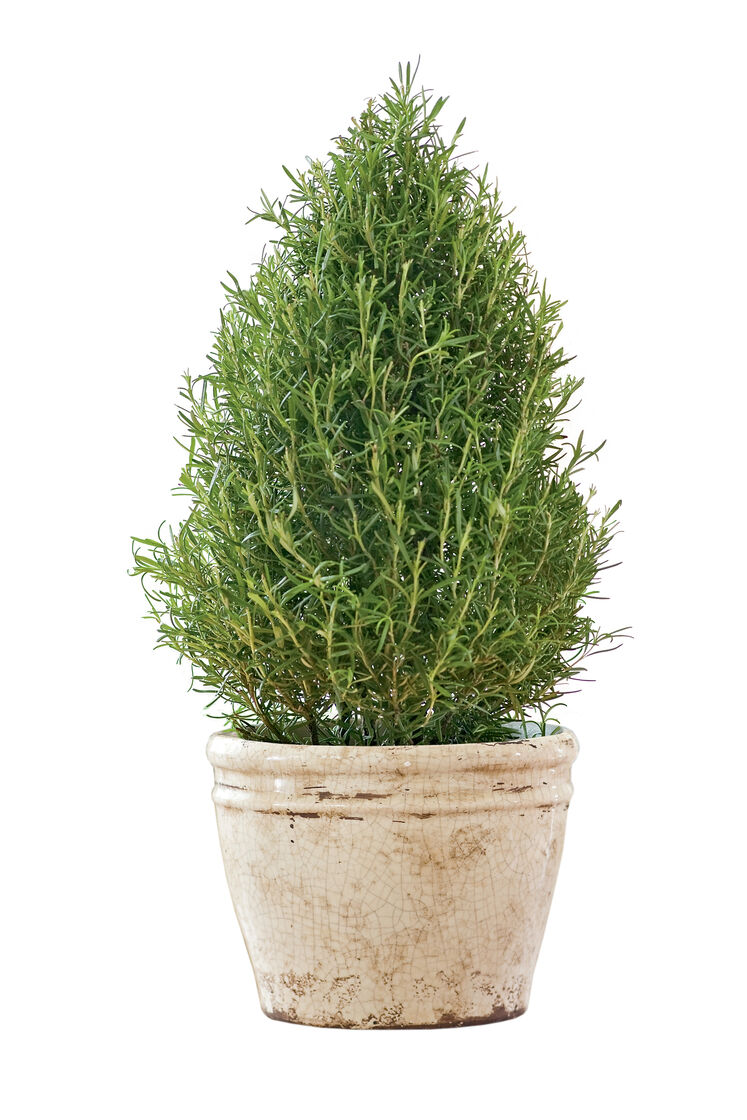 Top 28 large rosemary plants for sale rosemary arp for Plants for sale