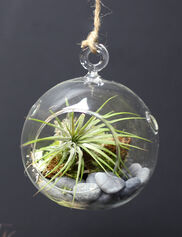 Air Plant Terrarium Kit