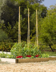Tomato Halo with Bamboo Supports, Set of 3