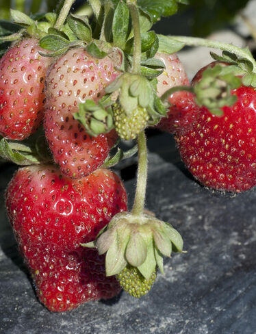 Albion Strawberries, 25 Plants