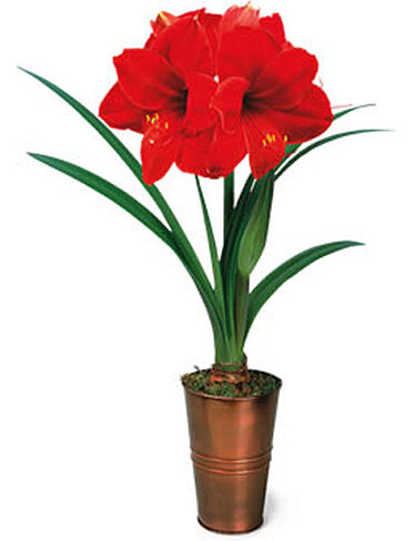 Royal velvet amaryllis set for Amaryllis royal red arrosage