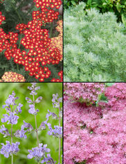 Drought Tolerant Perennial Collection, Set of 4