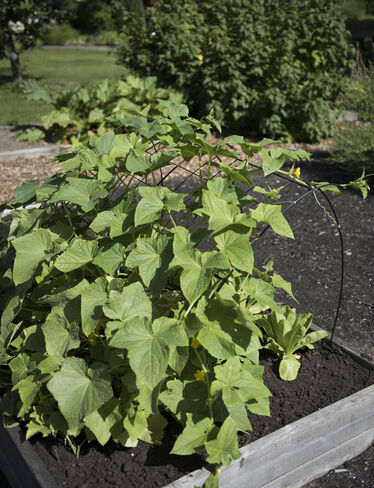 "Cucumber Curve Trellis, 48"""