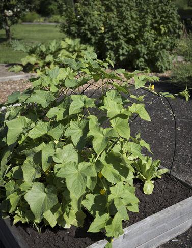 Cucumber Curve Trellis, 48 plant supports, garden trellis, garden supplies, organic garden supplies, vegetable garden supplies