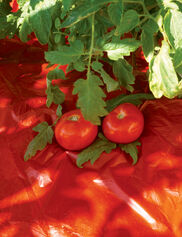 Red Tomato Mulch