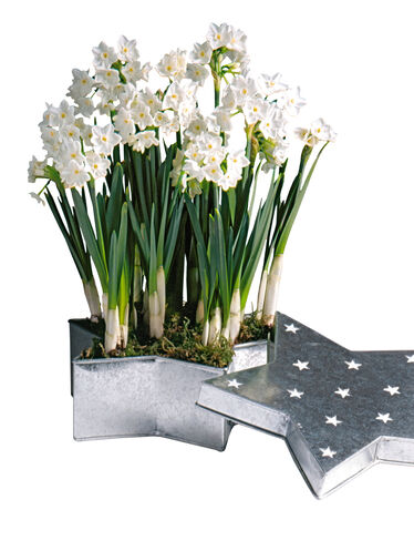 Shining Star Paperwhites