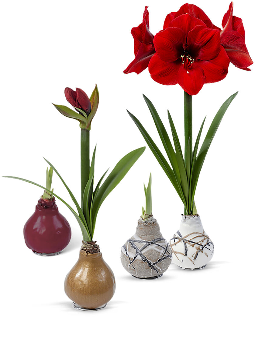 Red Amaryllis Easy Care Waxed Sovereign