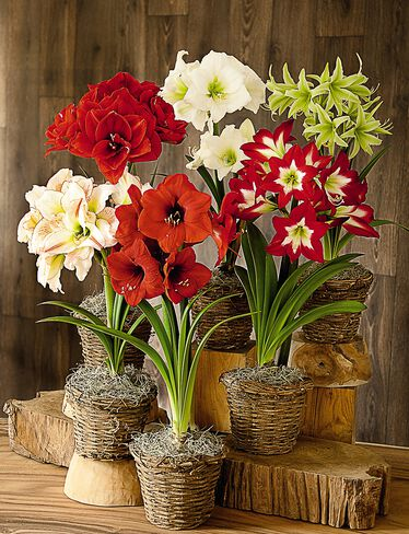 Amaryllis Collection, Set of 6