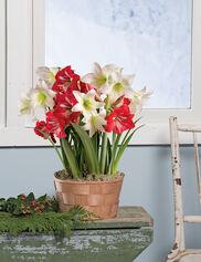 Mini Amaryllis Quartet Bulb Garden