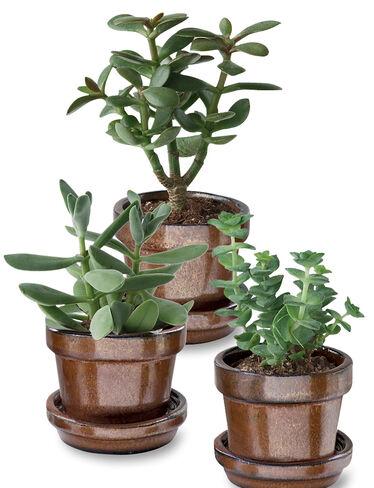 Succulent Garden Trio