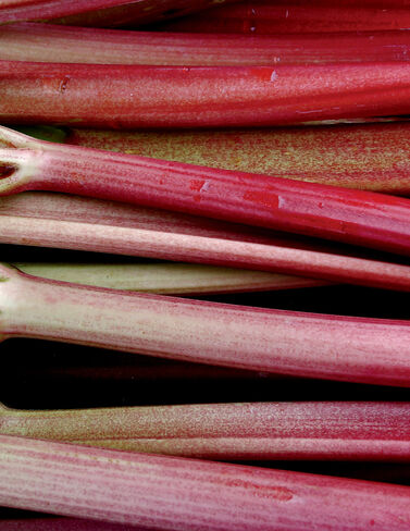 Rhubarb, Set of 3 Rhubarb Plants, Rhubarb Roots, Rhubarb Starts, Rhubarb, Garden Plants, Vegetable Garden Supplies