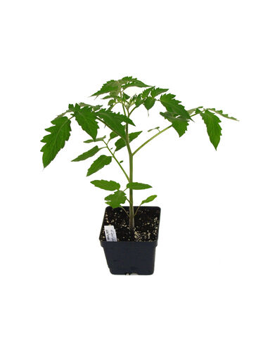 Juliet Tomato Plant
