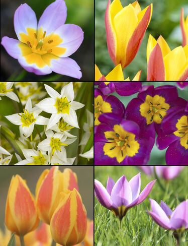 Species Tulip Bulb Collection, Set of 60