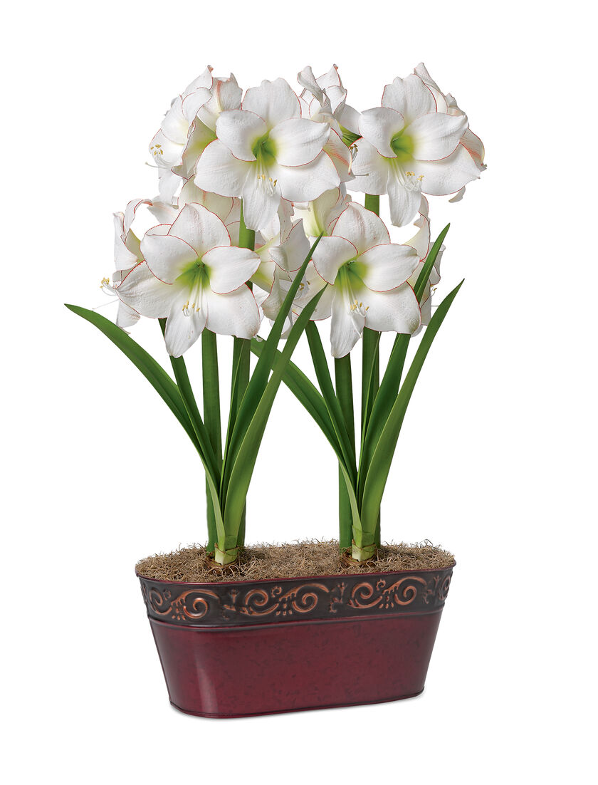 Picotee potted amaryllis duo white amaryllis with red edges for Pot amaryllis