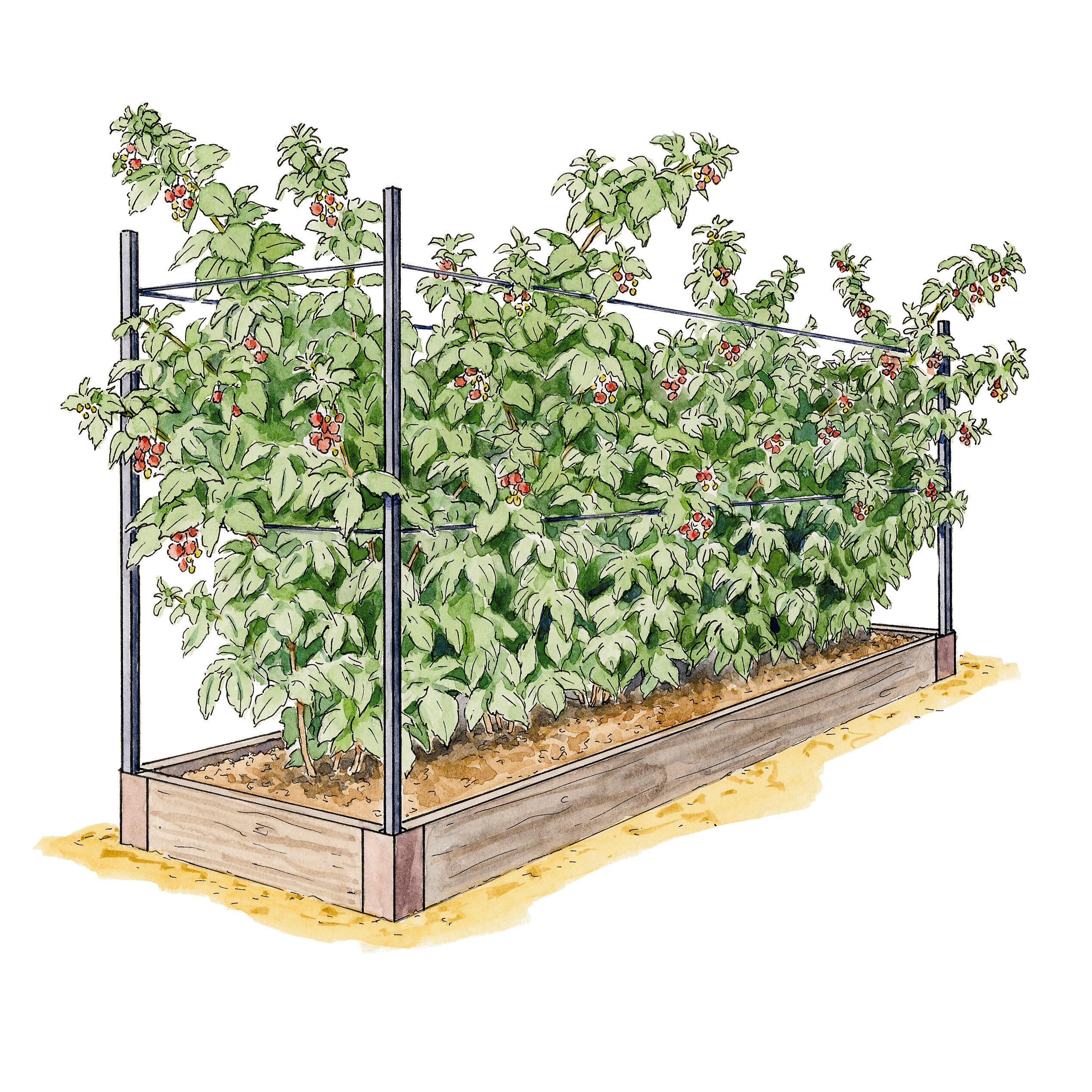 How Grow Asparagus In A Raised Bed