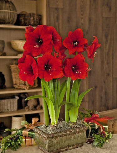 *Red Knight Amaryllis, Duo