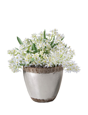 Star of Bethlehem, 30 Bulbs