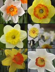 Large Cup Daffodil Bulb Collection, Set of 30