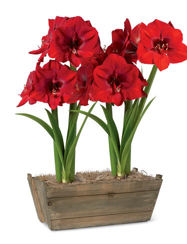 Ferrari Potted Amaryllis Duo