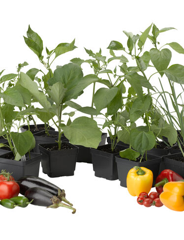 Vegetable Plants For Raised Bed