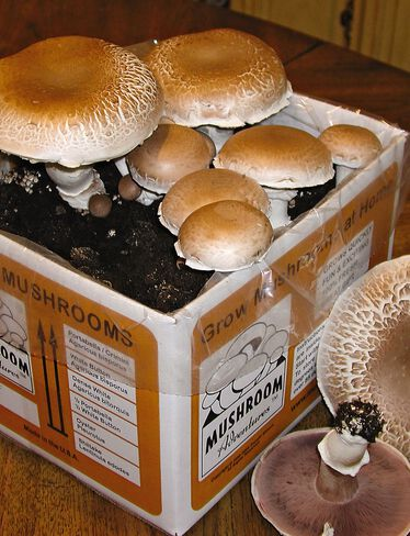 Giant Portabella Mushroom Kit