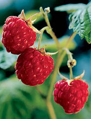 Heritage Red Raspberries, 5 Canes